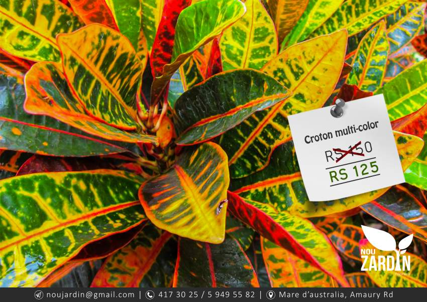 Croton Multicolor Plant (X5) - Plants and Trees at AsterVender
