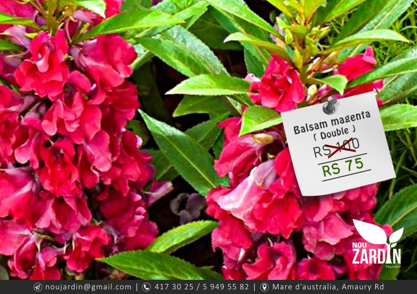 Balsam Magenta Double Plant - Plants and Trees at AsterVender