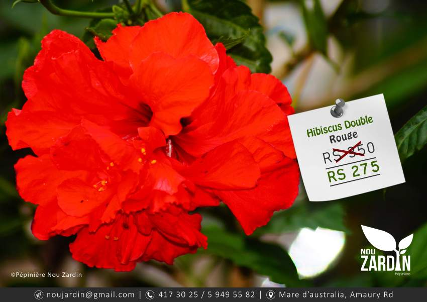 Hibiscus Plant - Plants and Trees at AsterVender