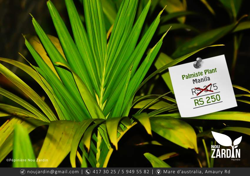 Palmiste Manila