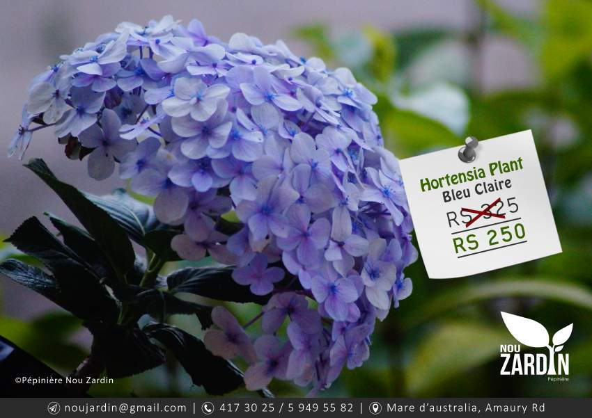 Hortensia Plant - Plants and Trees at AsterVender