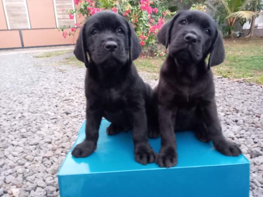 Labrador 8 weeks - Pure English Breed