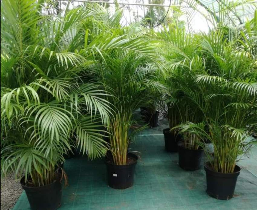 Palm mutipliant tree