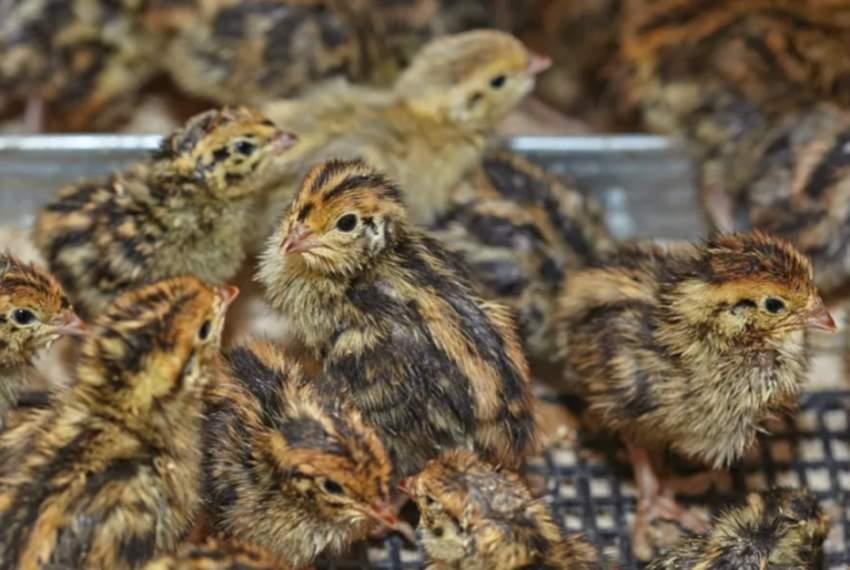 Japanese Quail Chicks