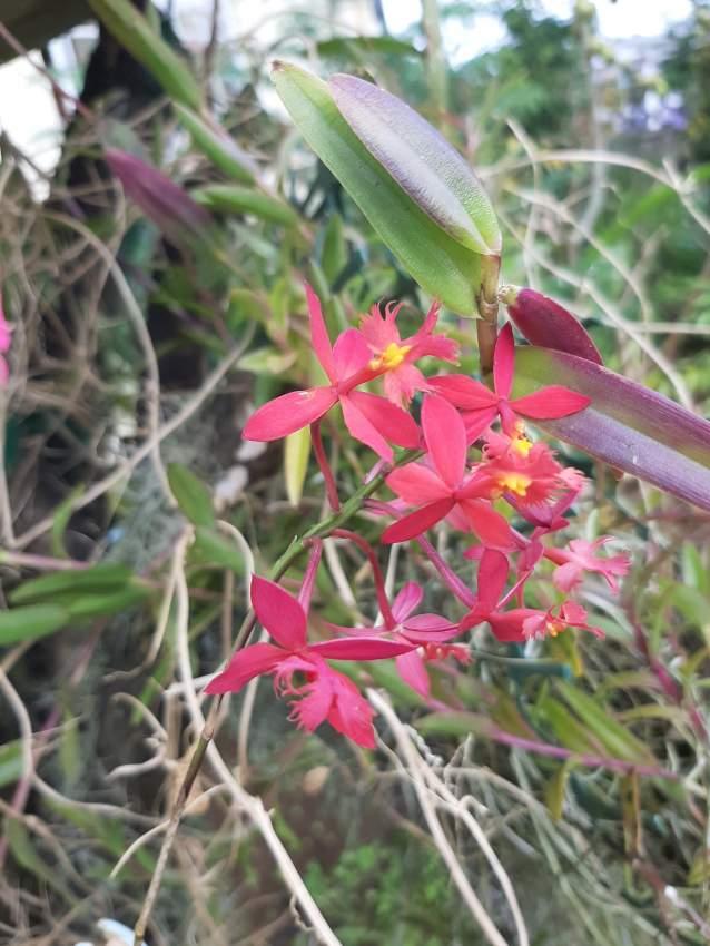 Orchidée petites fleurs rouge