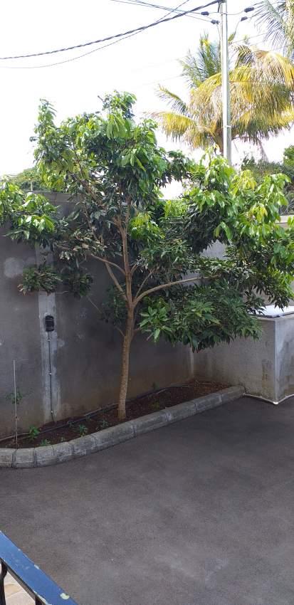 Letchi tree