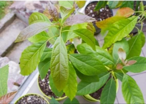 Avocado plants fruits