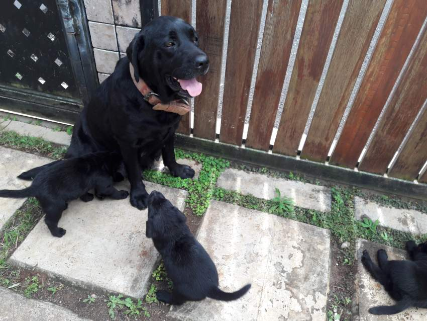 Labrador Puppies  - Dogs at AsterVender