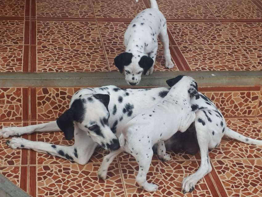 Dalmatian puppies dewormed and vaccinated for sale. - Dogs at AsterVender