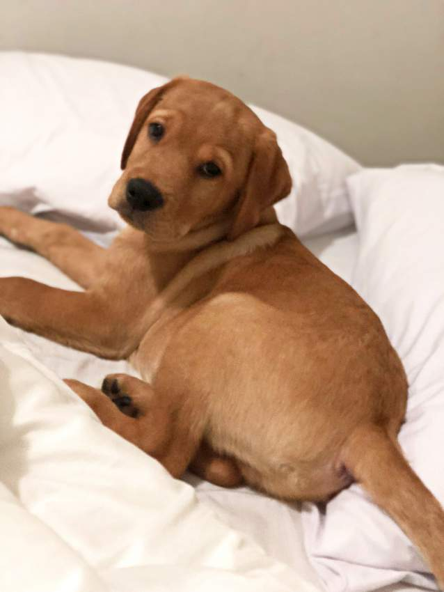 Labrador puppy for sale  - Dogs at AsterVender