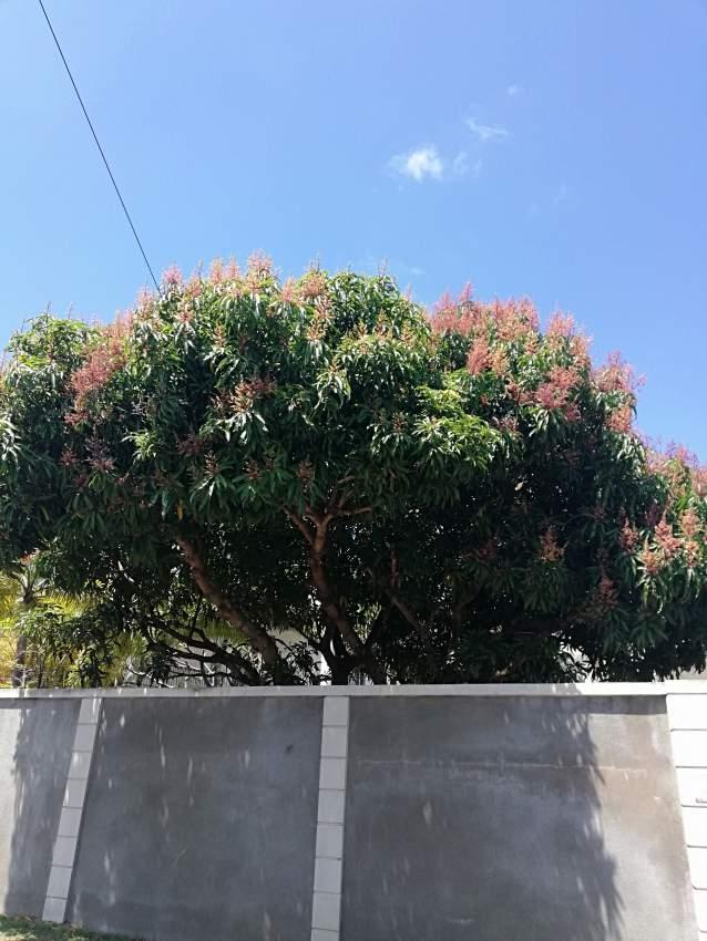 Mango trees for sale