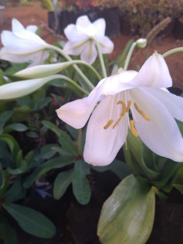 White flower (lily)