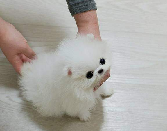Tiny Teacup Pomeranian 12 weeks old