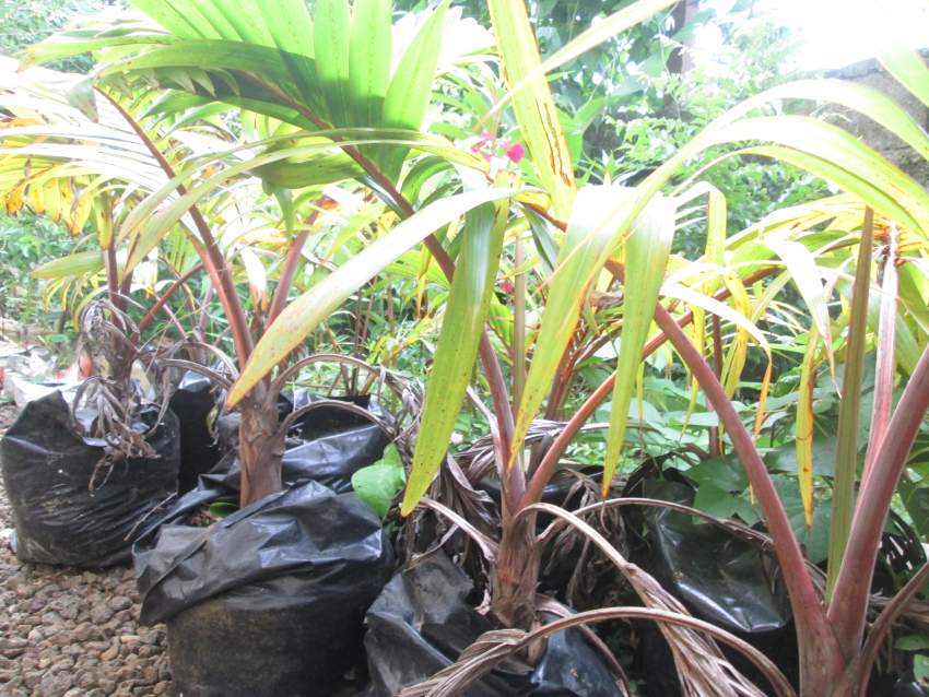 Outdoor plants bottle palm