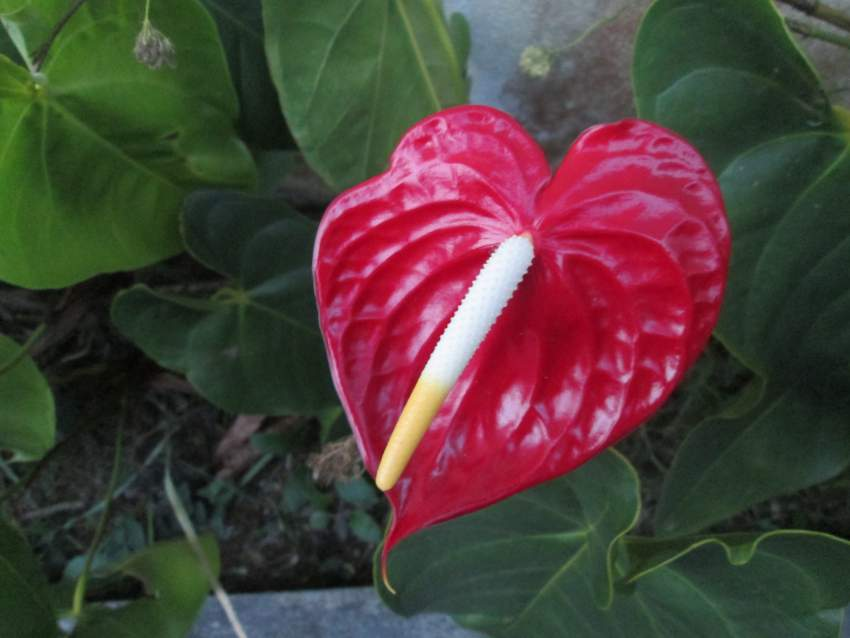Anthurium - Plants and Trees at AsterVender