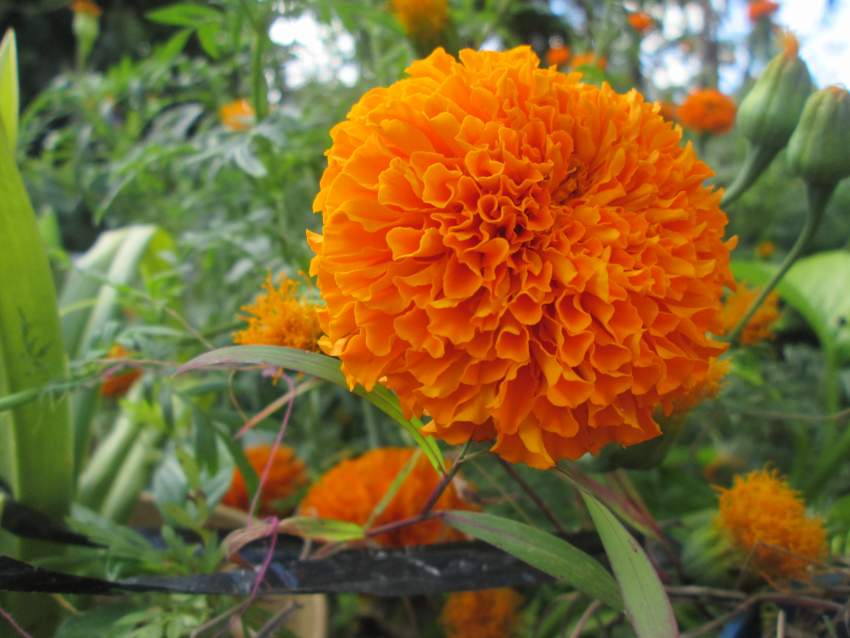 Marygold Flower Orange