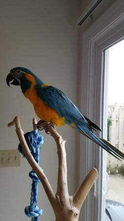 Pair Of Macaw Parrots With Cage for sale