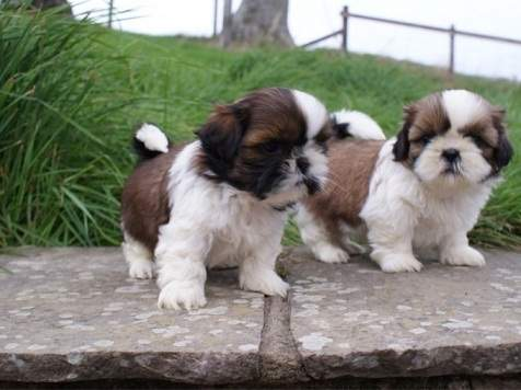 Little Shih Tzu Puppies Available