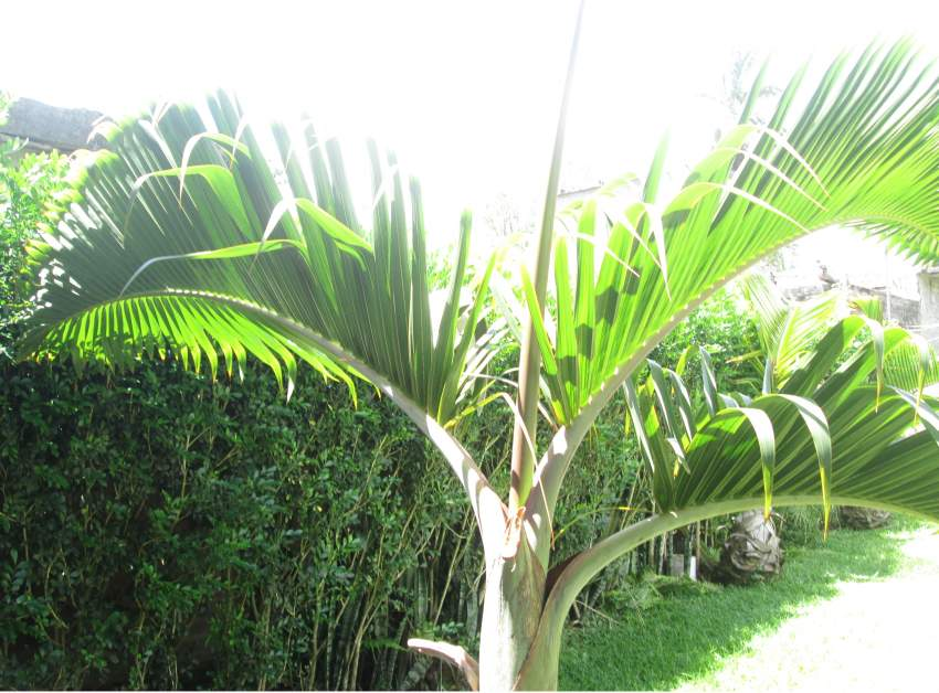 Outdoor plants (Bottle Palm) - Plants and Trees at AsterVender