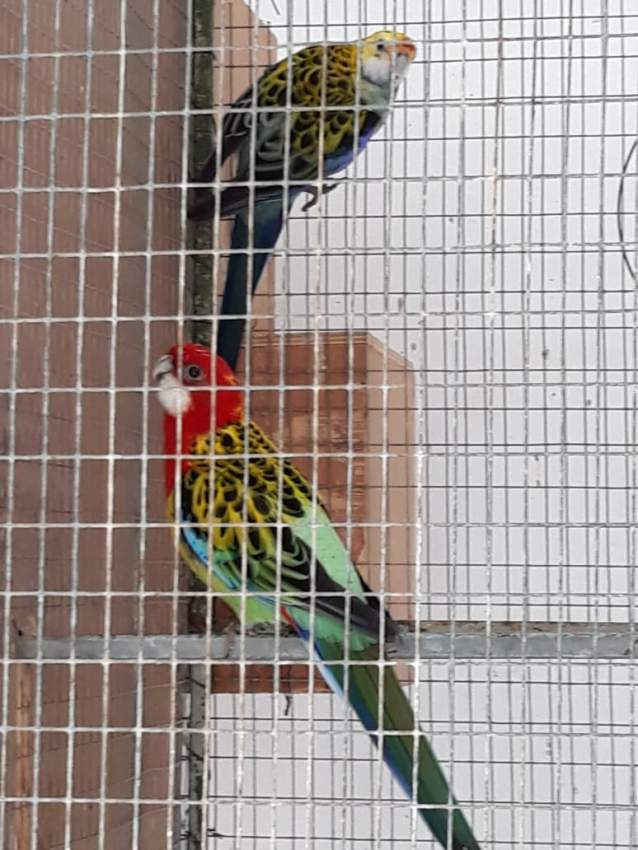 Breeding Pair Rosella Quick Sale Great Deal