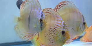 our    discus  fish are ready for  new homes
