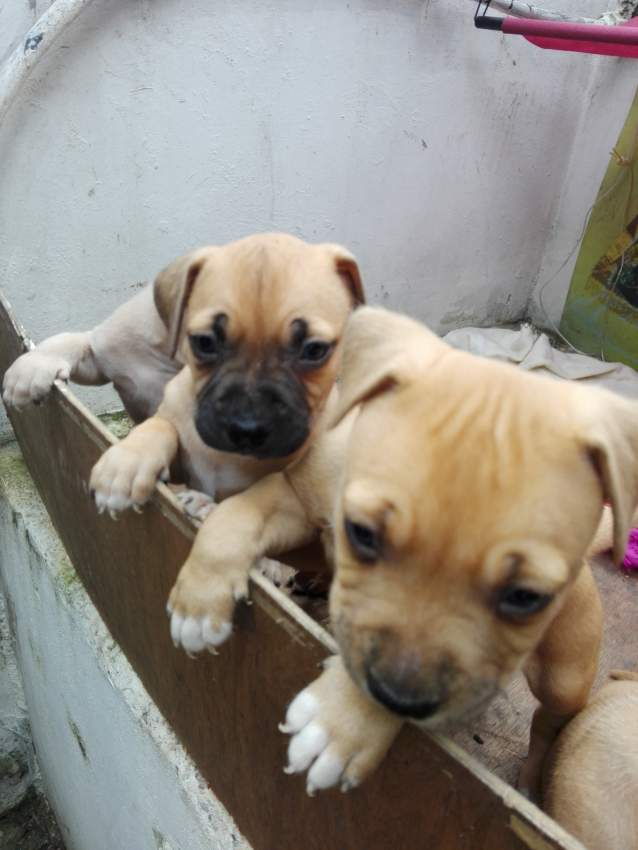 Amstaff for sale