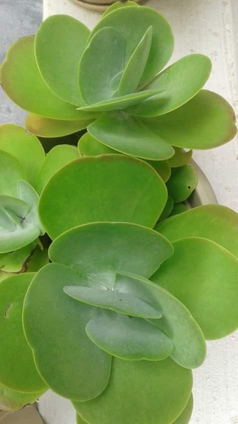 Plante corail