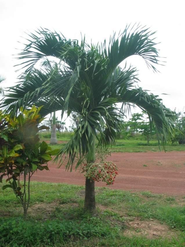 Manilla palm tree ( cocopac)