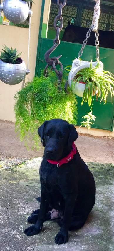 Black Labrador Puppies - Dogs at AsterVender