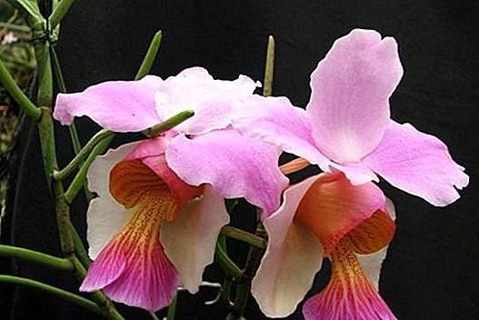 Orchidée Valvulaire
