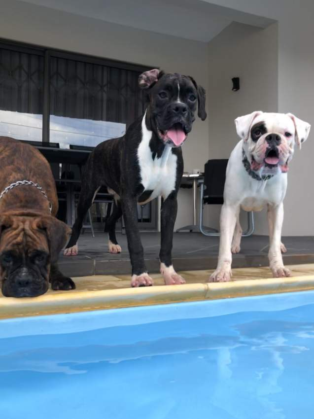 Male boxer dog black pure breed for sale