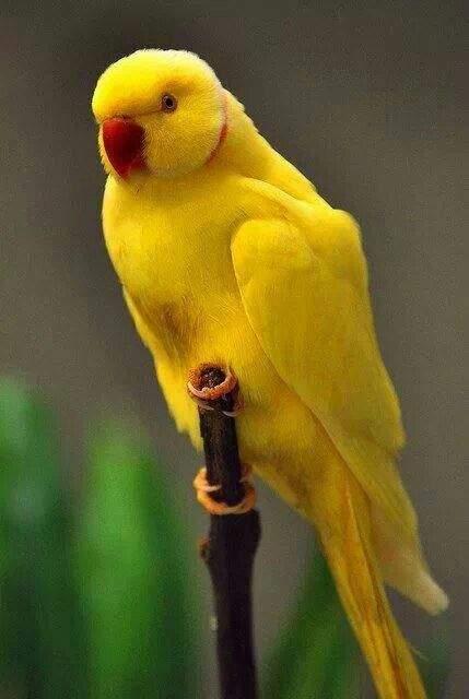 Yellow Indian ringneck
