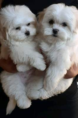 Maltese puppies for sale - Dogs at AsterVender