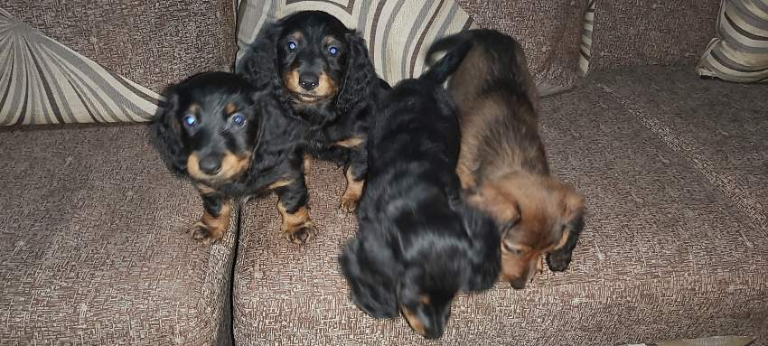 Pure breed dachshund  - Dogs at AsterVender