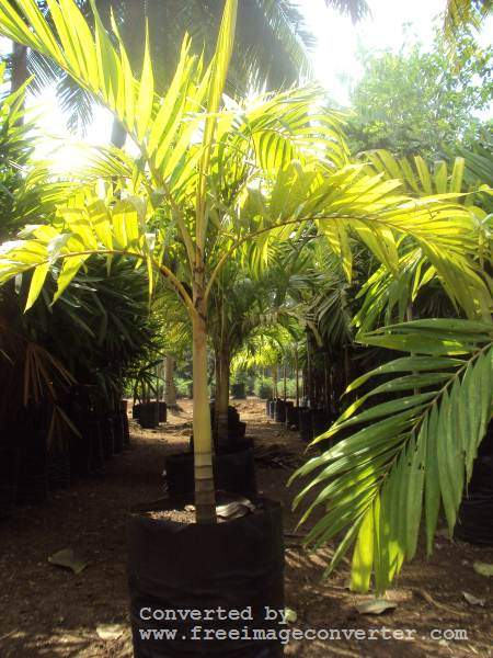 PALM TREE MANILLA  - Plants and Trees at AsterVender