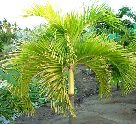 PALM TREE MANILLA